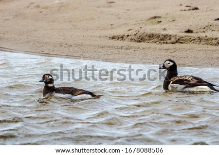Long-tailed Duck (Clangula hyemalis) in Barents Sea coastal area, Timan tundra, Nenets Autonomous Okrug, Arkhangelsk Region, Russia