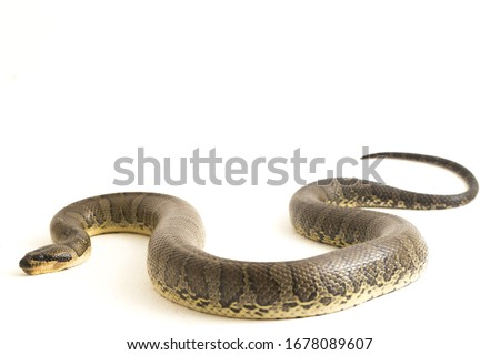 Common puff-faced water snake (Homalopsis buccata), banded water snake, or banded puff-faced water snake isolated on white background