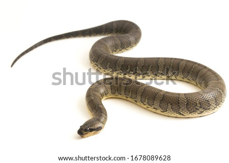 Common puff-faced water snake (Homalopsis buccata), banded water snake, or banded puff-faced water snake isolated on white background Royalty-Free Stock Photo #1678089628