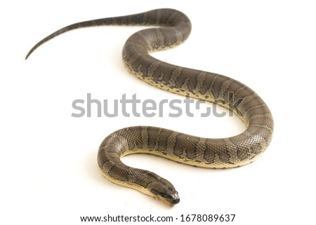 Common puff-faced water snake (Homalopsis buccata), banded water snake, or banded puff-faced water snake isolated on white background Royalty-Free Stock Photo #1678089637