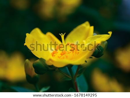 Bright yellow flower of Hypericum patulum, known as goldencup St. John's wort or yellow mosqueta, is a species of flowering plant in Hypericum sect. Ascyreia, close up #1678149295