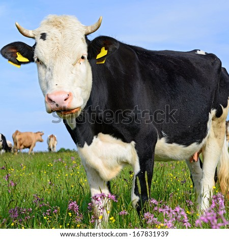 Cow on a summer pasture #167831939