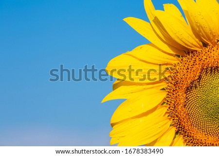 Beautiful bright yellow sunflower on the sky background Copy the area for the poster design text. #1678383490