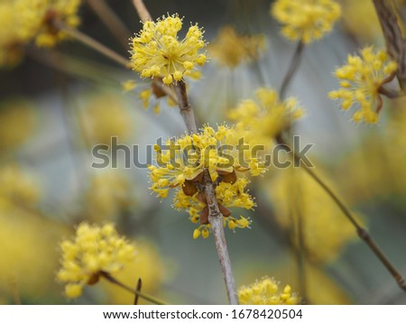 yellow flowers in nature field in spring, corni flower