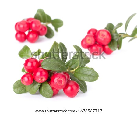 Fresh red berry: hand-picked forest Cowberry isolated on white background, macro shot #1678567717