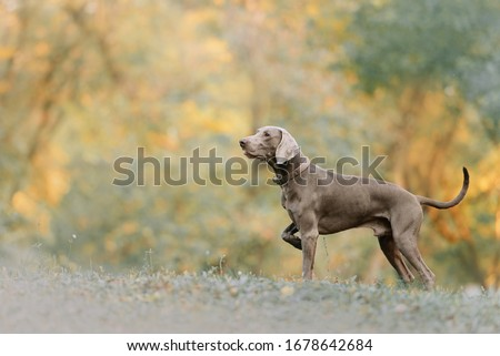 weimaraner dog in a collar pointing outdoors in autumn Royalty-Free Stock Photo #1678642684