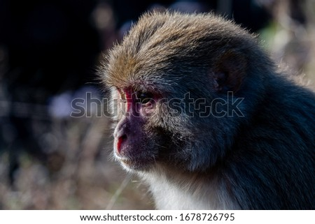 Portrait of indian monkey at rajaji national park #1678726795