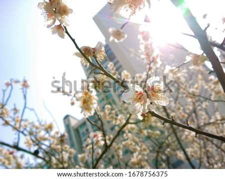 plum flowers of spring days in Korea #1678756375