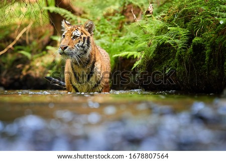 Siberian tiger, Panthera tigris altaica, walking in forest stream close to bank covered in fern. Direct view, low angle photo. Tiger in water in typical taiga spruce forest. Russia