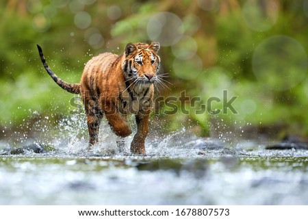 Young Siberian tiger, Panthera tigris altaica, walking in a forest stream against dark green spruce forest. Tiger among water drops in a typical taiga environment. Direct view, low angle photo. Russia Royalty-Free Stock Photo #1678807573