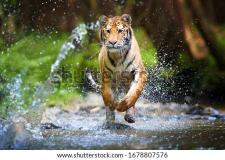Young Siberian tiger, Panthera tigris altaica, running in a forest stream against dark green spruce forest. Tiger among water drops in a typical taiga environment. Direct view, low angle photo. Russia #1678807576