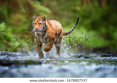 Young Siberian tiger, Panthera tigris altaica, walking in a forest stream against dark green spruce forest. Tiger among water drops in a typical taiga environment. Direct view, low angle photo. Russia #1678807597