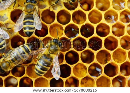 Honey bees on honeycomb filled with honey and pollen, macro nature photography #1678808215