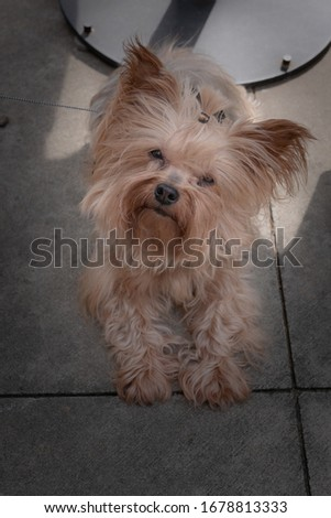 This is a little Yorkie has an expression to capture anyone's attention.
