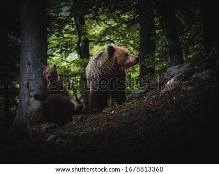 Bear with little bears. Brown bear (Ursus arctos) in forest. Brown bear with little bears. #1678813360