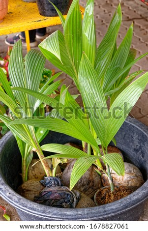 Young coconut plant. Sprout of coconut tree with green leaves emerging from old brown coconut. Planting coconut trees in farm. #1678827061