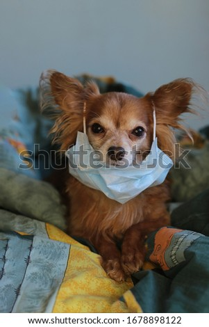 healthy redhead little Chihuahua puppy sitting on a sofa in a medical mask defends itself against the virus #1678898122