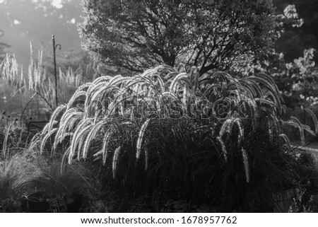 Black and white photo of arching ornamental grasses and karl reed grasses with ornamental Japanese willow tree taken during the magic hour.  #1678957762