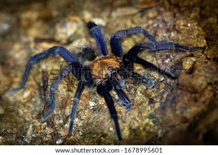 Costa Rican Suntiger Tarantula - Davus ruficeps is a species of spiders in the family Theraphosidae (tarantulas), formerly included in Cyclosternum, Black and blue big spider from Costa Rica #1678995601