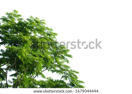Tropical tree leaves with branches on white isolated background for green foliage backdrop and copy space  #1679044444