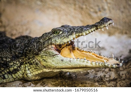 A small crocodile with an open mouth Royalty-Free Stock Photo #1679050516