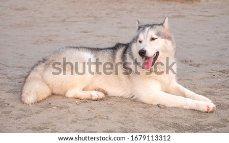 a young siberian husky dog on the huahin beach sea, lie down on soft sand and seeking the travelor in the monday morning with sweet sun light shining into sea beach area.