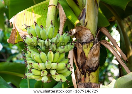 Banana trees are fruiting in the garden. #1679146729