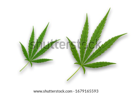 Frame with Cannabis leaves. Background with marijuana isolated on white background. Copy space. green cannabis leaf drug marijuana herb Background.
