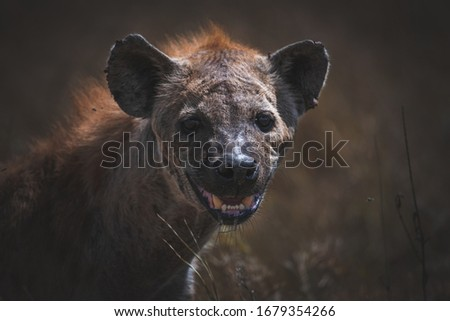 Spotted hyena (Crocuta crocuta) in Serengeti National Park, Tanzania.