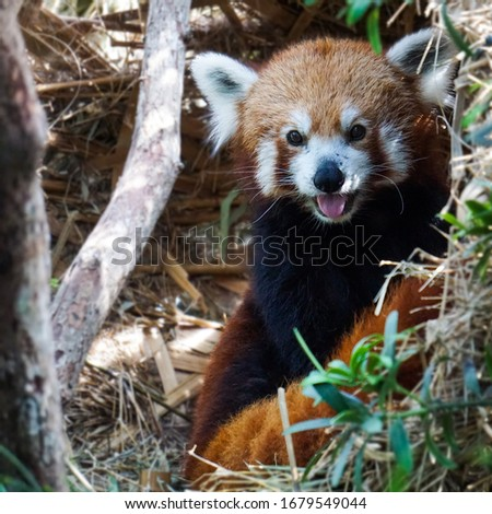 A cheeky red panda pictured in Singapore zoo. Conservation programs run by establishments such as Singapore Zoo are important, as the Red Panda is currently listed as endangered
