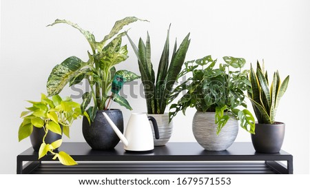 Light living room with indoor plants collection and a modern black table, plant table, hygrometer, plant care, plant watering can, house plants #1679571553