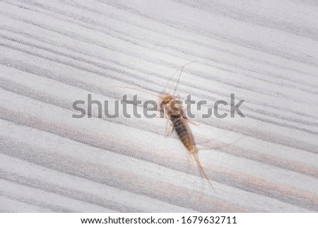 Firebrat (Thermobia domestica), a species of silverfish. Insect Lepisma saccharina in normal habitat.