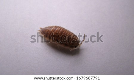 Wood louse on white background   insect
