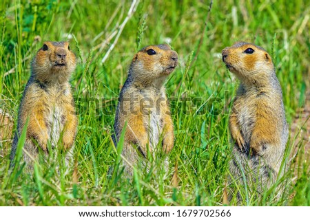 funny cute loving gophers sitting in a meadow on a warm Sunny summer day, family of loving gophers, close-up