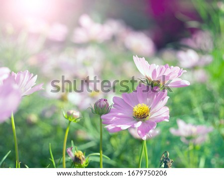 Depth of field picture of flowers for background about beauty and cosmetic content on web site, advertising. Purple flower fields with morning sunshine. This picture gives a fresh, bright feeling.