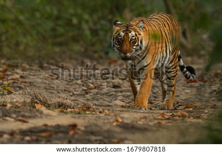 Royal Bengal Tiger from India  Royalty-Free Stock Photo #1679807818