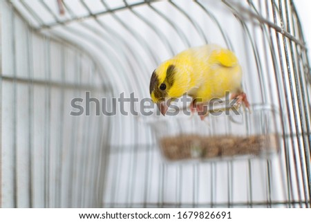 The Atlantic canary bird Serinus canaria , canaries, island canary, canary, or common canaries birds perched on a wooden stick against lemon trees inside huge cage as captive pet in Spain. #1679826691