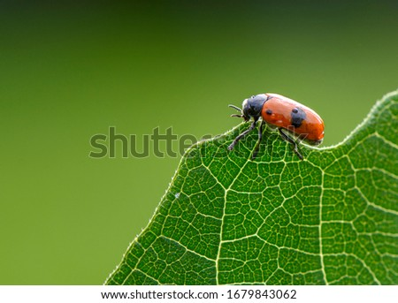 beetle of red color sitting on a green leaf of a tree. Macro Close up picture of beetle on natural green background