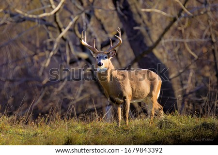 Antlered Whitetail Deer in autumn  Royalty-Free Stock Photo #1679843392