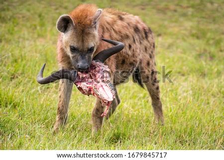 African Hyena, Masai Mara Kenya