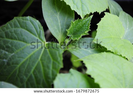 cucumber, green foliage of a young sprout #1679872675