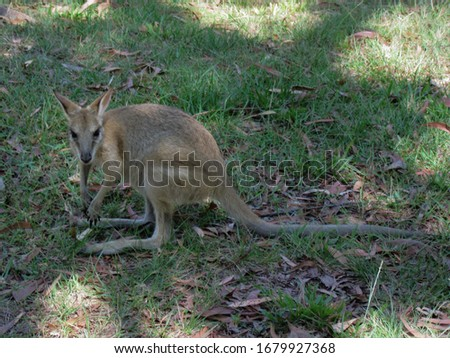 Cute little brown wallaby searching for food. Picture was taken in Western Australia.