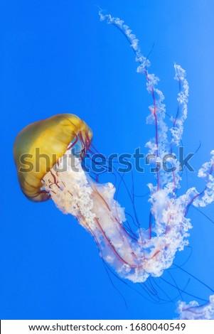 Orange jellyfish (Chrysaora fuscescens or Pacific sea nettle) in blue ocean water #1680040549