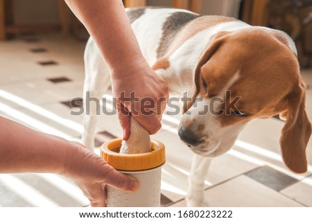 the mistress washes the dog's paws for a beagle and wipes the wet paws with a rag. glass for washing paws. paw washing device Royalty-Free Stock Photo #1680223222