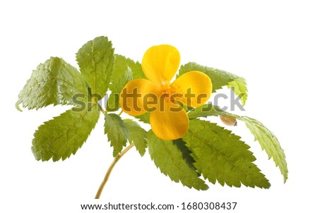 Meadow buttercup (tall buttercup, common buttercup, giant buttercup) #1680308437