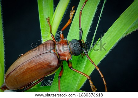 This is a titan beetle or beetle titanium or Longhorned Beetles, The beetle that destroys the cane root of the farmer in thailand, But it can be eaten as food. #1680376618