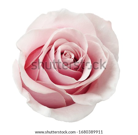 Beautiful rose flower isolated on white background. #1680389911