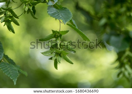 Beech tree  in summer in front of  green blurred background with immature beechnuts #1680436690