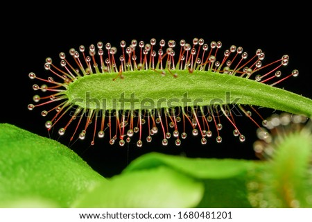 Carnivorous Plants - Venus Flytrap and Sundew Royalty-Free Stock Photo #1680481201
