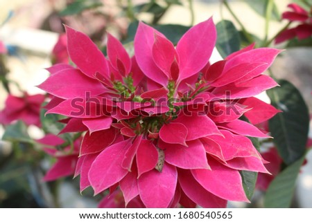 poinsettia beautiful natural flower picture